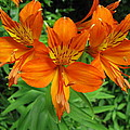 Orange Flowers by Danica Stewart