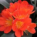 Bright Orange Flowers by MTBobbins Photography