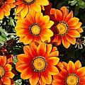Orange Flowers by Robert Preston