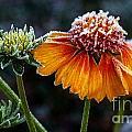 Orange Frosty by Julia Hassett