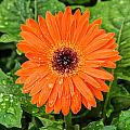 Orange Gerber Daisy 2 by Douglas Barnett