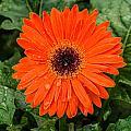 Orange Gerber Daisy 3 by Douglas Barnett