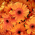 Orange Gerbera Daisies by Art Block Collections