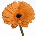 Orange Gerbera Daisy by K Powers Photography