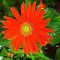 Orange Gerbera Daisy by Marian Palucci-Lonzetta