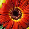 Orange Gerbera by Garry Gay