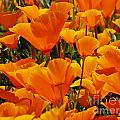Orange Glimmer by Sheryl Young
