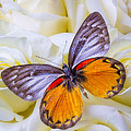 Orange Gray Butterfly by Garry Gay