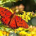 Orange Gulf Fritillary by Adam Jewell