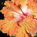 Orange Hibiscus After The Rain by Connie Fox