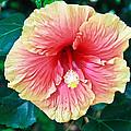 Orange Hibiscus by Eti Reid