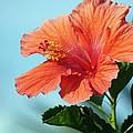 Orange Hibiscus by Jenny Hudson