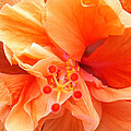 Orange Hibiscus by Karen Zuk Rosenblatt