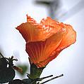 Orange Hibiscus Lax 2 by Deborah Smolinske