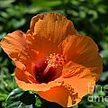 Orange Hibiscus by Randy Stapler