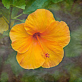 Orange Hibiscus Textured by E Karl Braun