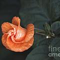 Orange Hibuscus Lax 1 by Deborah Smolinske