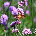 Orange Hummingbird Moth by Susan Herber