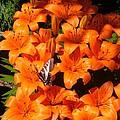 Orange Lilies by Sharon Duguay