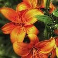 Orange Lillies by Timothy Hacker