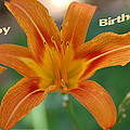 Orange Lily Birthday 1 by Aimee L Maher ALM GALLERY