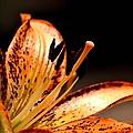 Orange Lily by Deena Stoddard