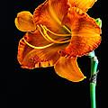 Orange Lily by Randy Walton