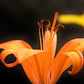 Orange Lily by Tami Rounsaville