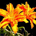 Orange Lily Twins by Joyce Dickens