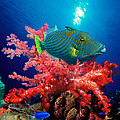 Orange-lined Triggerfish Balistapus by Panoramic Images