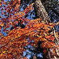 Orange Maple by Kathleen Bishop