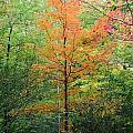 Orange Maple by Stephanie Kripa