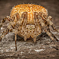 Orange Marbled Orb Weaver by Adam Romanowicz