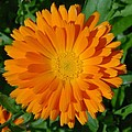 Orange Marigold Close Up With Garden Background by Taiche Acrylic Art