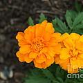 Orange Marigolds   # by Rob Luzier