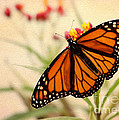 Orange Mariposa by Sabrina L Ryan