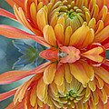 Orange Mum's Watery Reflection by Heidi Smith