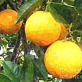 Orange On Tree by Jeelan Clark