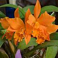 Orange Orchids by William Hallett