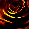 Orange Passion Rose by Music of the Heart