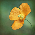 Orange Pop by Kim Hojnacki