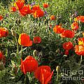 Orange Poppies In Sunlight by Kerstin Ivarsson