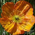 Orange Poppy by Geraldine Cote