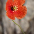 Orange Poppy by Lena Auxier