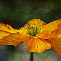 Orange Poppy by Zsuzsanna Szugyi