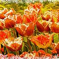 Orange Princess Fringed Tulips by Debra  Miller