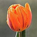 Orange Red Tulip Square by Sandi OReilly