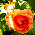 Orange Rose Bloom by Loreta Mickiene