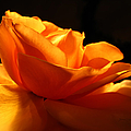 Orange Rose Glowing in the Night
