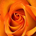 Orange Rose by Joseph Skompski